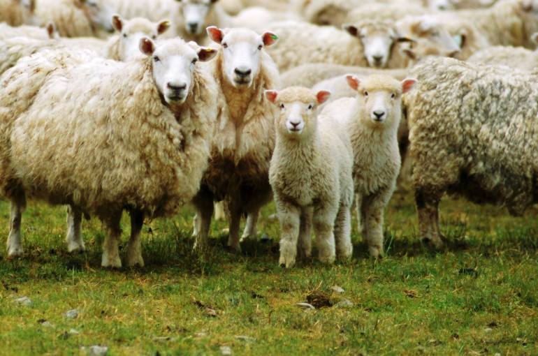 sheep-farming.jpg